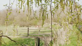 Birch branch with aglets and horses in paddock at spring day. Birch branch with aglets and grazing horses in paddock as background at spring day. Birch-tree with stock video footage