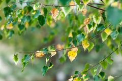 Birch branch at autumn with green and yellow leafs stock photo