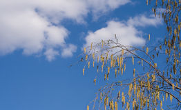 Birch branch on background cloudy sky Royalty Free Stock Photos
