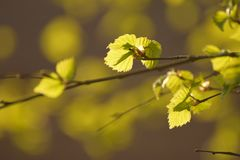 Birch in the springtime Royalty Free Stock Images