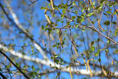 Birch branch Royalty Free Stock Images