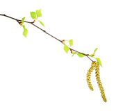 Birch branch with catkins and green leaves isolated on white background Royalty Free Stock Photos