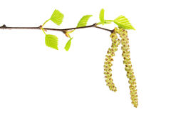 Birch branch with catkins and green leaves isolated on white background Stock Image