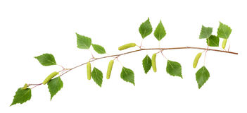Birch branch Stock Image