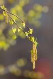 Birch branch closeup Stock Images