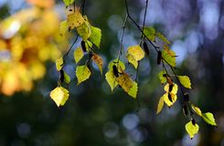 Birch branch with yellowing leaves Stock Photos