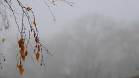 Fading birch leaves and a fruit earring with rain droplets in the background of fog. A birch branch with faded leaves and a fruit earring against the background stock video