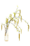 Birch branch in a glass vase Royalty Free Stock Image
