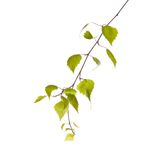 Birch branch. Isolated on the white background Stock Photo