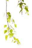 Birch branch Stock Image
