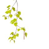 Birch branch. Isolated on the white background Royalty Free Stock Photos
