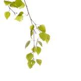 Birch branch Royalty Free Stock Photo