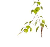 Birch branch Stock Photo