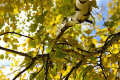 Birch branch and leaves Stock Image