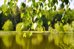 The birch branch. Birch leaves on the background of the lake Royalty Free Stock Photography