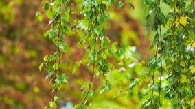 A birch branch in the rain.