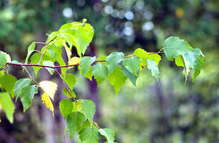 A birch branch with many green leaves in summer season Royalty Free Stock Photography