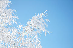 Birch branch in rime Stock Image