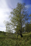 Birch branch on the slope Royalty Free Stock Photo