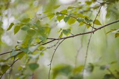 Birch branch in summer season. Birch branch with many green leaves in summer season closeup Royalty Free Stock Photo