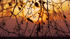 Birch branch tree silhouette on orange nature sunset landscape. Birch  branch tree silhouette on orange nature sunset landscape stock video footage