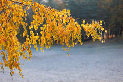 Birch branch with yellow leaves. Against the backdrop of the forest Royalty Free Stock Images