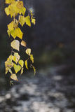 Birch branch with yellow leaves Stock Images
