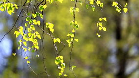 Birch branch with young green leaves. Birch branches with green leaves lit with a bright sun stock video