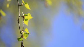 Birch branch with young green leaves. Birch branches with green leaves lit with a bright sun stock video footage