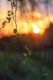 Birch branch with young leaves. Against the backdrop of the setting sun Royalty Free Stock Photography