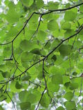 Birch. Branch with young light green leaves Stock Photography