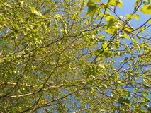 Birch branches against the sky. Birch branches with young leaves against the sky in the spring stock photos