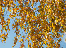 Birch branches Stock Images