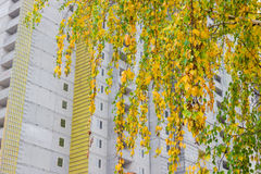 Birch branches on a background of the construction autumn Royalty Free Stock Photo