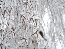 Birch branches bent down under the weight of the snow clung to them royalty free stock photos
