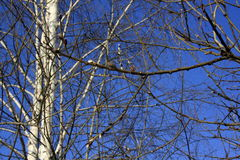 Birch branches with blossoming buds on the background of the spring blue sky. Nature forest.Birch branches with blossoming buds on the background of the spring royalty free stock photos