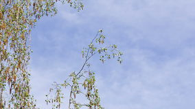 Birch branches on blue sky background. Clouds float across the sky stock video footage
