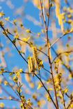 Birch branches with buds Stock Image
