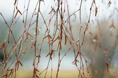 Birch branches with catkins and swelling buds in early spring in Stock Images