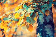 Birch branches with colorful leaves stock photo