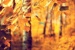 Birch branches with colorful leaves stock images