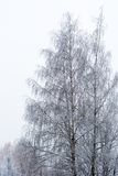 Birch branches covered with hoarfrost Royalty Free Stock Images