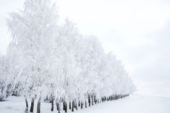 Birch branches covered with hoarfrost Stock Photography