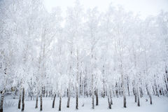 Birch branches covered with hoarfrost Stock Image