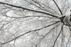 Birch branches covered with snow. Birch branches covered with first snow royalty free stock photography