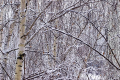 Birch branches covered with snow Stock Photo