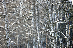 Birch branches covered with snow Stock Image