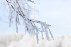 Birch branches covered with snow with frost. On a cold morning Royalty Free Stock Photography