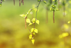 Birch branches with fresh green leaves in spring day Royalty Free Stock Image