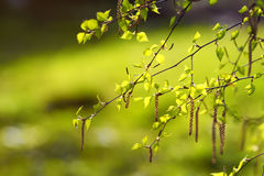 Birch branches with fresh leaves in spring day Royalty Free Stock Photography
